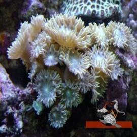 Duncanopsammia Axifuga
